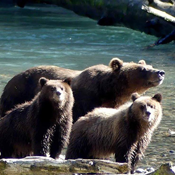 Grizzlies of Toba Inlet & Vancouver
